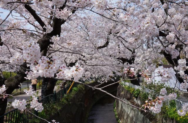 大船―小さな歴史を聞く 銀杏並木と桜並木編(8)桜のその後 後記