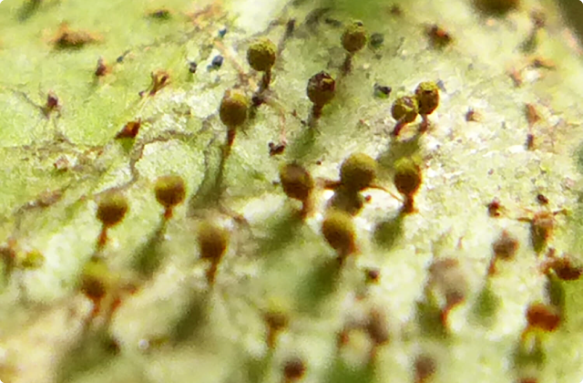 第三回 変形菌と、それ以外